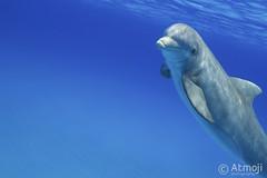 WildQuest Dolphin Retreat 5-2016 (Wildquest Bimini) Tags: ocean wild nature swim underwater with dolphin atlantic spotted wim photostream bimini bottlenose swimwithdolphins swimmingwithdolphin wildquest atmoji