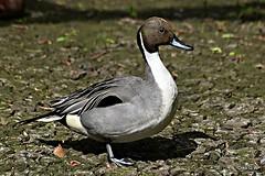 Pintail (Diko G.W.) Tags: ducks bridlington eastyorkshire pintail