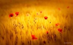 La tarde cae (josechino2424) Tags: flores color rojo amapolas humanesdemadrid josechino2424