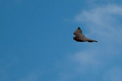 IMG_4368 (gipukan (rob gipman)) Tags: male tower female eos toren 7d kuikens slechtvalk olv langejan preybird canon24105lis tokina116