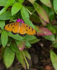 Acraea violae (Robert-Ang) Tags: garden singapore flyinginsect tawnycoster acraeaviolae singaporechinesegarden