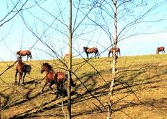 Blockhouse Point Trail (karma (Karen)) Tags: horses motion shadows maryland running pastures horsefarms montgomeryco blockhousepointtrail