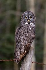 Great Grey Owl (murph le) Tags: bird nature forest wildlife greatgreyowl alberta