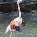 Chileflamingo / Chilean Flamingo