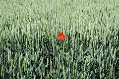 Blat i rosella (Carme Carles) Tags: poppies amapolas roselles