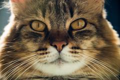 just kidding @ cat #pets #feline #nature (Jos Eduardo Nucci) Tags: portrait cats pets home animal riodejaneiro botafogo