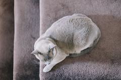 Grey on Grey (aa84) Tags: pet home animals cat fur carpet grey greeneyes camouflage hazeleyes burmesecat