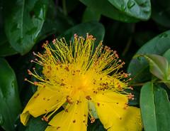 Bursting out all over. (Omygodtom) Tags: auto flower macro nature yellow outdoors zoo nikon natural bright bokeh hillside tamron90mm bursting d7100
