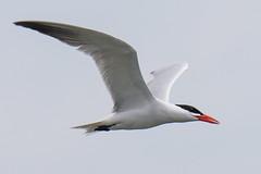 DUD_3846r (crobart) Tags: lake ontario bird birds port caspian erie tern dover