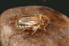 Amphimallon solstitiale (dhobern) Tags: june denmark europe coleoptera 2016 sborg scarabaeidae melolonthinae amphimallon solstitiale