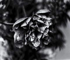 Still Life 4 (micke_wall) Tags: life flowers white black mamiya nature analog still bokeh mamiyarb67 natuer