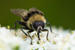 Volucella bombylans var plumata hoverfly (Ian Redding) Tags: uk nature yellow fauna insect fly eyes european feeding wildlife british mimic mimicry hoverfly invertebrate syrphidae arthropod diptera hogweed compoundeyes nectaring volucellabombylans plumata bumblebeemimic