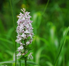 orchis tachet (Dactylorhiza maculata)- Variation Blanche - Bord de route Alaise (francky25) Tags: orchis tachet dactylorhiza maculata variation blanche bord de route alaise franchecomt doubs flore orchide sauvage orchids