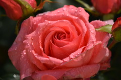 Rosa Rose (chrissie.007) Tags: rose 20160625
