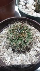 Neoporteria villosa (Eriosyce villosa). Junio 2016. (garconwii) Tags: cactus plant eriocyse neoporteria