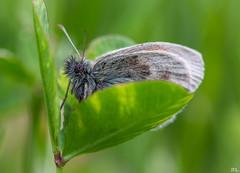 Butterfly...[explore Jun 14, 2016] (roland_lehnhardt) Tags: green nature animals butterfly bug dof bokeh pov portait natur pflanzen wiese blumen lepidoptera ef100mmf28 grn falter insekt insekten schmetterling schrfentiefe tiefenschrfe unschrfe amphiesmenoptera eos60d