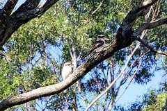 Sunny Morning (Gillian Everett) Tags: queensland kookaburra