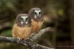Northern Saw-whet Owlets (Turk Images) Tags: birds alberta owls aegoliusacadicus northernsawwhetowl strigidae nsow thorhild aspenparkland