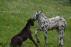 DSC_4622 (d90-fan) Tags: animals outdoors austria tiere sterreich natur pferde schnecke rauris fohlen hohetauern tauern krumltal murmeltiere raurisertal