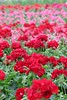 Field of Flowers (M!chdel) Tags: pink flowers red green pelargoniums perspectiv