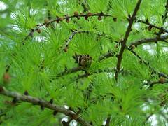 Douceur du printemps 1+ (France Smyth) Tags: larches conifers tamarack pinaceae americanlarch tamarac larixlaricina coniferae hackmatack conifres mlzes tamaracklarch pinefamily mlzelaricin pinaces mlzedamrique