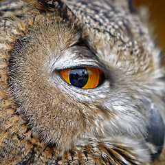 The look (NRG Photos) Tags: bird eye face gesicht beak medieval auge vogel uhu schnabel bubobubo eagleowl mittelalter biebesheim canonef70200mmf28lisusm frhlingsmarkt springmarket