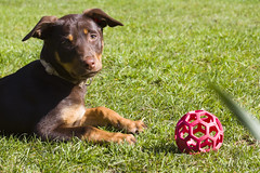 Taz (TomLiaPhotography) Tags: dog grass canon garden puppy toy play relaxed kelpie 70200l 60d