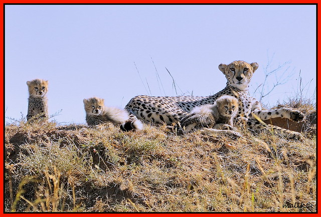 FEMALE CHEETAH WITH HER THREE CUTE LOOKING CUBS......