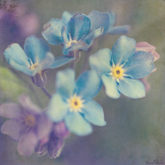 I Won't Forget You (sherone72) Tags: uk pink flowers blue england macro art closeup lumix dof purple little contemporary violet panasonic textures lilac tiny pastels g1 forgetmenot remembrance society textured raynoxdcr150 radlab texturesquared