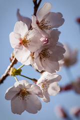 (Ville Misaki) Tags: canonef300mmf4lisusm canonefextender14xii canoneos5dmarkii blossom blue branch cherry flower kasvi kirsikka pink plant prunus sakura spring tree white 桜