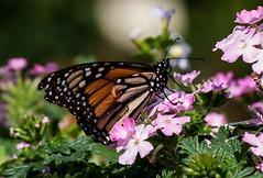 Monarch Butterfly (Kelly_MR) Tags: nature butterfly epcot wdw waltdisneyworld monarchbutterfly butterflygarden flowerandgarden g9 canong9