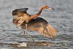Reddish Egret chasing fish (daveinhst) Tags: sunset fish galveston bird beach water texas ngc egret 122 reddish 060212