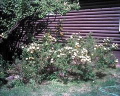 Yellow Roses of Aspen, June 2012 - Assorted As...