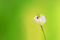 Petal Balancing (RicHampton) Tags: flowers macro green nature yellow garden spider petals vibrant willowherb gardenspider 8legs
