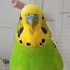 My new friend (zzapback) Tags: portrait bird smart crazy rotterdam nikon tommy budgie parakeet vogel parkiet p300 zzapback