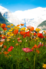poppies at lake louise (raspberrytart) Tags: flowers canada mountains color nationalpark nikon alberta poppy poppies banff lakelouise valleyofthetenpeaks d80