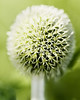 strange (Birgit F) Tags: flower macro green norway norge grimstad austagder dømmesmoen