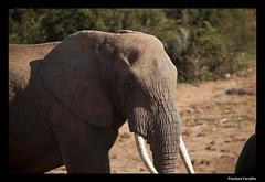 BIG 5 (Jackson Carvalho) Tags: life africa wild elephant sol animal animals sunrise notebook mammal 5 south selva lion vida tenis zebra celular avestruz impala floresta sul leo elefante bigfive entardecer iphone selvagem cervo javali marfim