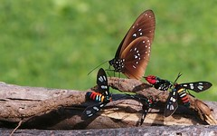 Strange bedfellows (sPacific details (very limited internet)) Tags: butterfly southpacific solomonislands mygearandme