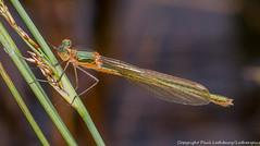 Emerald Damselfly (Lestes sponsa) female, Ufton Fields, Warwickshire 27June12 (Lathers) Tags: warwickshire emeralddamselfly uftonfields lestessponsa canon7d warwickshirewildlifetrust canonef100f28lisusm wkwt 27june12
