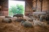 sheeps (j / f / photos) Tags: deleteme5 deleteme8 newyork deleteme deleteme2 deleteme3 deleteme4 deleteme6 deleteme9 deleteme7 barn saveme sheep saveme2 deleteme10 hay farmsanctuary