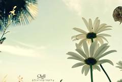 daisies [four] (stefania carenza) Tags: flowers summer italy plants nature daisies torino nikon italia natura fiori piante cuneo turin vacanze margherita nikond3000