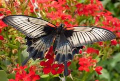 I'm your butterfly (e³°°°) Tags: butterfly wings zeeland papillon page bloemen schmetterling vlinder tropisch vleugels vlindertuin beveland berkenhof dagvlinder kwadendamme highqualityanimals