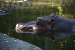 Hippopotamus (scara1984) Tags: zoo antwerp 10102010 scara1984