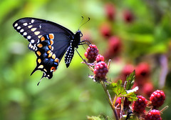 Black Beauty (Wes Iversen) Tags: nature butterflies hcs swallowtails swallowtailbutterflies chippewanaturecenter clichsaturday
