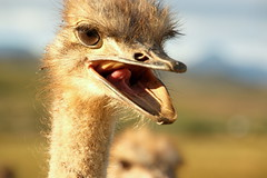 Desperate (housewife) (|steppe) Tags: africa southafrica ostrich steppe desperatehousewife stefanoperoni