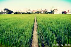 Paddy Field ( Nana) Tags: life light plant tree green love beautiful field backlight nikon colorful natural paddy taiwan scene lovely  paddyfield taiwan i  d7000