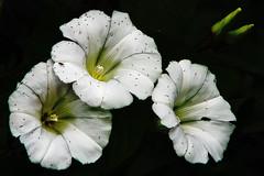 Weed (gos1959) Tags: flower weed thegalaxy jammerbugt gynther mygearandme mygearandmepremium mygearandmebronze pregamesweepwinner biersted pregameduelwinner vigilantphotographersunite
