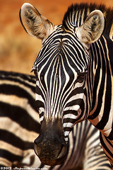 Plains Zebra Portrait [EXPLORE] 25-08-2012 (Stefano.Minella) Tags: from park family wild portrait baby animal animals photoshop canon that eos for this is photo kiss holidays looking with post kenya kick shots background year © mother some taken son run pregnant days here went east safari explore most where national 7d lions zebra learning l production they how teaching usm plains kicking ef f4 spent couchant 41 tsavo 2012 stefano zebras lightroom 70200mm the minella cs6 explored fondlings