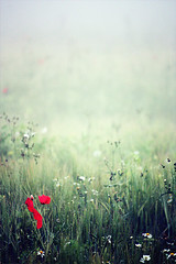 (getbehindme // alinekoehler.de) Tags: flowers autumn red sea summer cold color colour green fall field grass rain fog digital canon germany lost photography eos rebel europe loneliness quiet sad veil natural smoke blossoms foggy meadow calm baltic fresh poppy rgen xsi myterious 450d 55250mm ilence elancholic